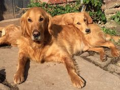 Nigel and Nellie. Monty Don & the real reason we watch Gardeners World- his dogs!