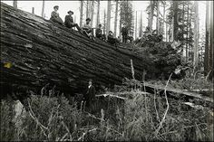 Yesterday, a man from Austria, sent me a link to a historic photo of a fallen redwood. The message had a question about the Lindsey Creek Giant, probably the largest tree ever, back in the early 1900s ... one that blew down instead of being cut. Most historic photos of Coast Redwoods on the ground show logged trees cut with ax, saw, dynamite or combination of those. This trees in the photo has roots attached, indicating it could have blown over. Pinned with text from http://www.mdvaden.com