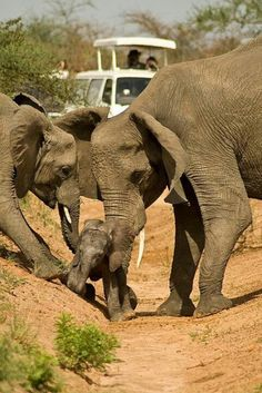 Elephant love, this is real team work within a family.  People could really leans something by just watching these amazing animals. For as large as their are , they are so gentle.