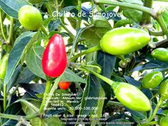 Photo of Hot pepper (Capsicum annuum var. Photo Location: Zone 5 Indiana on Caption: Chilito De Simojovel An extremely rare seed tha. Capsicum Annuum, Stuffed Hot Peppers, Photo Location, Chili, Seeds, Vegetables, Fruit, Green, Plants