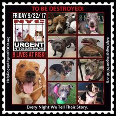 TO BE DESTROYED 09/22/17 - - Info   To rescue a Death Row Dog, Please read this:http://information.urgentpodr.org/adoption-info-and-list-of-rescues/   To view the full album, please click here: http://nycdogs.urgentpodr.org/tbd-dogs-page/ -  Click for info & Current Status: http://nycdogs.urgentpodr.org/to-be-destroyed-4915/