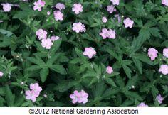 NGA Plant Finder :: National Gardening Association: Geranium maculatum, wild cranesbill