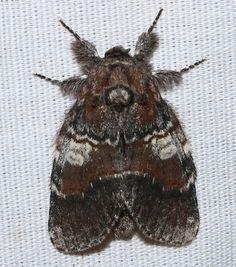 Peridea ferruginea – Chocolate Prominent Moth