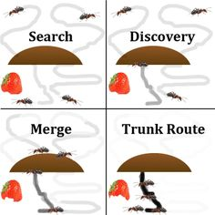 Ants wander aimlessly to find food leaving behind a pheromone scent to guide them back to the nest - the scent eventually fades.   Upon discovery the ant will head back to the nest bringing food and alerting the colony. The ant continues to leave a scent signifying that this route has been traveled multiple times so success must be on the other end.  Other worker ants pick up on the scent and abandon their search to join the trunk route.