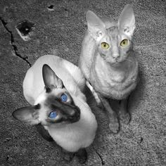 Mocha and Awesome Sauce. Siamese and Cornish Rex