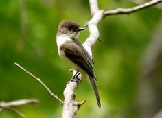 Sayornis phoebe - Eastern Phoebe -- Seen since childhood, first recorded sighting: 6/9/2013 Ithaca, NY
