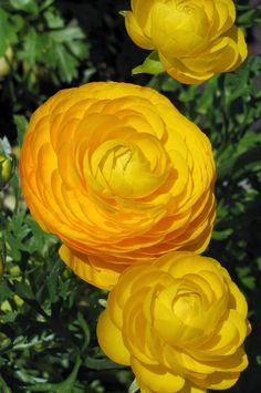...  known as the Persian buttercup these vivid yellow Ranunculus have fully double flowers with tightly clustered petals. Description from flowerbulbsinc.co.uk. I searched for this on bing.com/images