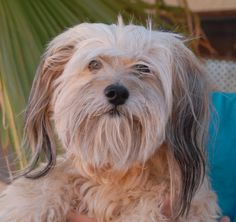 Erin, an endearing and humble Lhasa Apso, debuts for adoption today at Nevada SPCA (www.nevadaspca.org).  He is good with other dogs, neutered, 10 years of age, and housetrained.  Erin was at another shelter that asked for our help.  He wants and needs a leisurely lifestyle where he knows he is always treasured and safe.