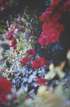 the Sky is for the Stars - gorgeous red, white, and blue flowers. These would look lovely as a casually-arranged centerpiece! Dark Floral, Blue Flowers, Beautiful Flowers, Colorful Roses, Floral Flowers, All Nature, New Wall, My Flower, Flower Blossom
