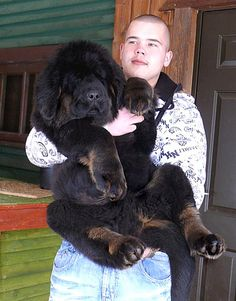 2.5 months old! (Tibetan Mastiff) he looks like a bear and is probably going to be close to the size of one :) LOVE.