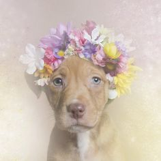 Dreamy Portraits of Flower Wreath-Wearing Pit Bulls Challenge the Stereotypes Surrounding the Breed