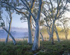 Snowgums At Navarre Plains, South Of Lake St Clair. Photograph ~Looks painted but is a pic.