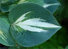 Hosta 'Half And Half' --- Naylor Creek Nursery. Gecupt hartvormig wit blad met een blauw groene rand, een sport van 'Lakeside Cupcake' die beter wit is.  Bloemkleur lila. Standplaats halfschaduw/schaduw. Hoogte 35 - 45 cm.