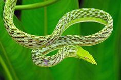 Apesar de não ser o bicho preferido de muita gente por aí, algumas espécies de cobras, dentre as mais de 3 mil existentes, são simplesmente belíssimas