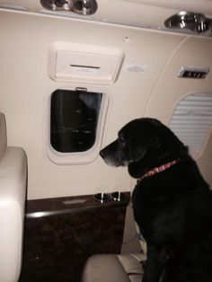 Lady, an aging black lab who struggled to find a home in Kansas, is seen being whisked away on a private jet to a new home with Wrigley chewing gum heir Helen Rich in Florida.