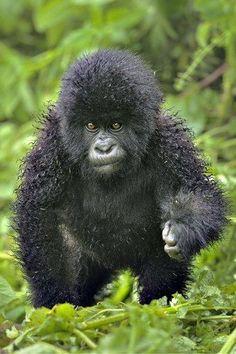 Cheetah ? Non c'est juste un bébé gorille dans la nature.