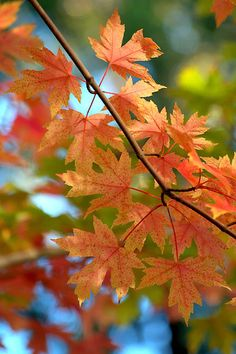 ~~Autumn Leaves ~ autumn blaze maple tree by Diana Graves Photography~~
