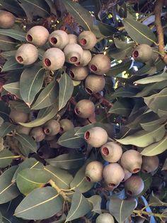 Gumnuts More