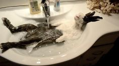 Cloody, bunny in bath, likes the warm water so much he falls asleep