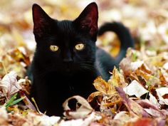 "Black Cats Halloween – Why Are They Considered Bad Luck? ~ While black pigmentation isn't limited to specific breeds (in fact, the Cat Fanciers' Association lists ""solid black"" as a color option for 22 breeds), the Bombay breed is likely the kind of cat you picture most often when you imagine a classic black cat."