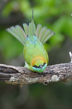 little green bee-eater  photo by rivertay