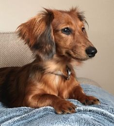 Dachshund Breed, Long Haired Dachshund, Dachshund Puppies, Dachshund Love, Dogs And Puppies, Daschund, Doggies, Big Dogs, I Love Dogs