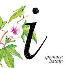 """Nuestra letra ilustrada de hoy representa la """"i"""" de la tipografía Isadora y va acompañada de la flor de la batata #36daysoftype03 #36days_I #36daysoftype"""