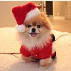 I'm Santa's elf...who's he? #dogs #pets #Pomeranians facebook.com/sodoggonefunny