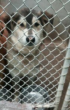 ***URGENT!!!! - THIS SWEETIE IS AT ODESSA TX. Husky mix female less than a year old   Ask the staff to meet her  $51 to adopt  This is Nutmeg and she has the prettiest markings!!! She is ready to be adopted and find her forever family!   PLEASE ...  ADOPT/RESCUE/FOSTER   Located at Odessa, Texas Animal Control.