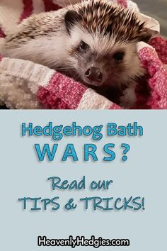 Do you dread hedgehog bath time for your quill baby? Try our tips and tricks to help make giving your hedgie a less traumatic experience for you and them. Hedgehog Bath, Cute Hedgehog, Guinea Pig Toys, Cat Toys, Pet Steps, Flea Treatment, Secret Life Of Pets, Pet Paws, Animal Birthday