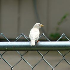 An albino (English) House Sparrow (Passer domesticus) that has visited our feeders, on occasion, along with a large flock of normal house sparrows. [Photo taken in north-central WV by E.Cochran with a 6 MP digital camera.]