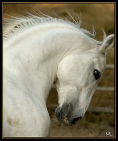 Horse / The beautiful Lipizzan Stallion photographed by Lynn R equine photography