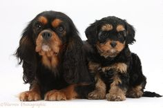 Dogs: Black-and-tan King Charles and Cavapoo pup photo - WP34288