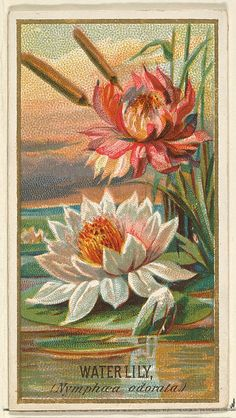 Water Lily (Nymphaea adorata), from the Flowers series for Old Judge Cigarettes  Issued by Goodwin & Company