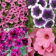 Kit de 4 Surfinias couleurs mixtes Hanging Baskets, Petunias, Kit, Garden, Flowers, Plants, Colors, Fall Hanging Baskets, Garten