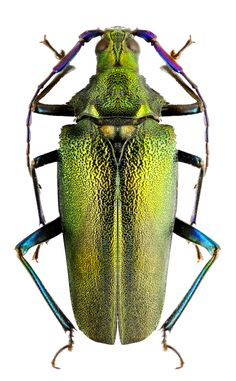 Praemallaspsis rhombodera Longhorn Beetle, Insect Photos, Macro Pictures, Insect Wings, Cool Bugs, Watercolor Projects, Beetle Bug, Beautiful Bugs, Animal Species