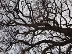 Old English Oak, Nottingham UK