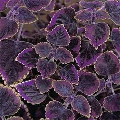 Trailing plum brocade coleus
