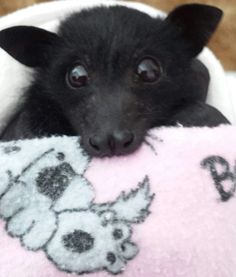 Have a chew, your beautiful creature! Animals And Pets, Baby Animals, Funny Animals, Cute Animals, Beautiful Cats, Animals Beautiful, Bat Flying, Baby Bats, Fruit Bat