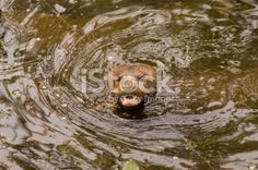Giant otter Royalty Free Stock Photo