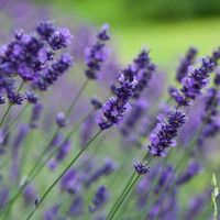Lavandula Angustifolia 'Hidcote' , Lavender hidcote, English Lavender 'Hidcote', Lavender 'Hidcote', Lavandula 'Hidcote', Lavandula Spica 'Hidcote Purple', Lavandula 'Hidcote Blue', Purple flowers, Drought tolerant plant, Summer blooms, fragrant plants,