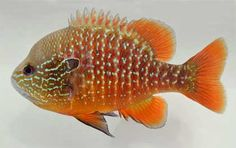 """$6 :: N. American Native! Better Than Discus: Mobile River (AL) Longear Sunfish - Lepomis megalotis (male shown) :: Current Size: 0.25 - 0.5 in, Maximum Size: 6 - 8 in :: """"This strain of longear is new to us this year and we are offering it to our customers for the first time. They have more of a speckled pattern similar to the Longears of western Fl but they have a lot more red or orange background color"""" www.zimmermansfis... BETTER THAN DISCUS! Zimmerman's N. American Native Fish!"""