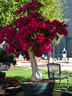 Beautiful Bougainvil