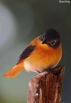 """""""Black-and-Orange Flycatcher."""" """"The Tyrant Flycatchers (Scientific name: Tyrannidae) are a family of passerine birds which occur throughout North and South America. They are considered the largest family of birds with more than 400 species. Cute Birds, Pretty Birds, Small Birds, Little Birds, Colorful Birds, Beautiful Birds, Animals Beautiful, Cute Animals, Beautiful Beautiful"""