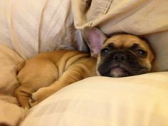 """I am NOT gettin' up today, K!"" comfy & cute French Bulldog Puppy."