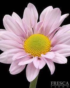 Pink Cantata Daisy
