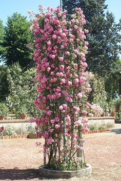 Climbing Roses - Ludwigs RosesLudwigs Roses