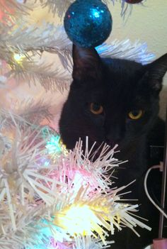 Kuro says Meowy Christmas!