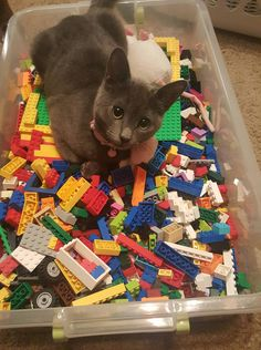 TIL cats are immune to Lego pain