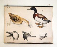 Fresque vente vintage, néerlandais affiche pédagogique avec des illustrations de canard par AtticAntics sur Etsy https://www.etsy.com/be-fr/listing/214827643/fresque-vente-vintage-neerlandais